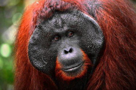 The adult male of the Orangutan. Close up portrait of the adult male of the orangutan in the wild nature. Island Borneo. Indonesia.